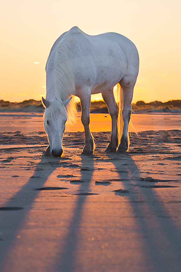 Séance de photographie des chevaux au cœur du parc Naturel de Camargue