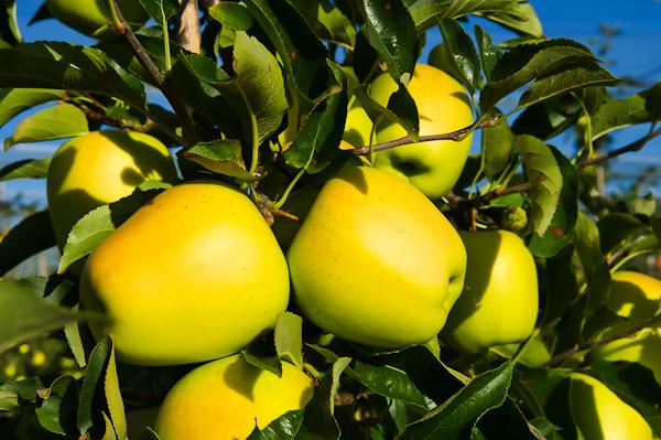 Pomme du Limousin AOP : Visite de verger avec un producteur