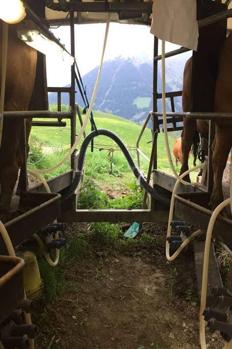 Traite en alpage et apéritif savoyard à Saint-Jean-d'Arves