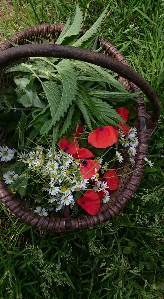 Cueillette de plantes comestibles en Somme