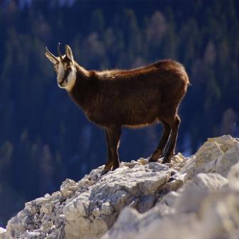 À la découverte du chamois dans le massif des Vosges
