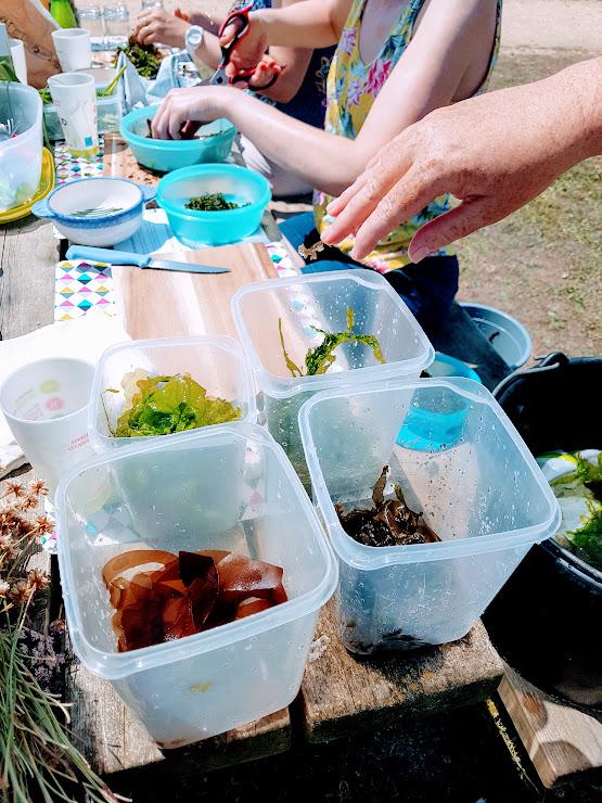 Sortie algues à Penhors