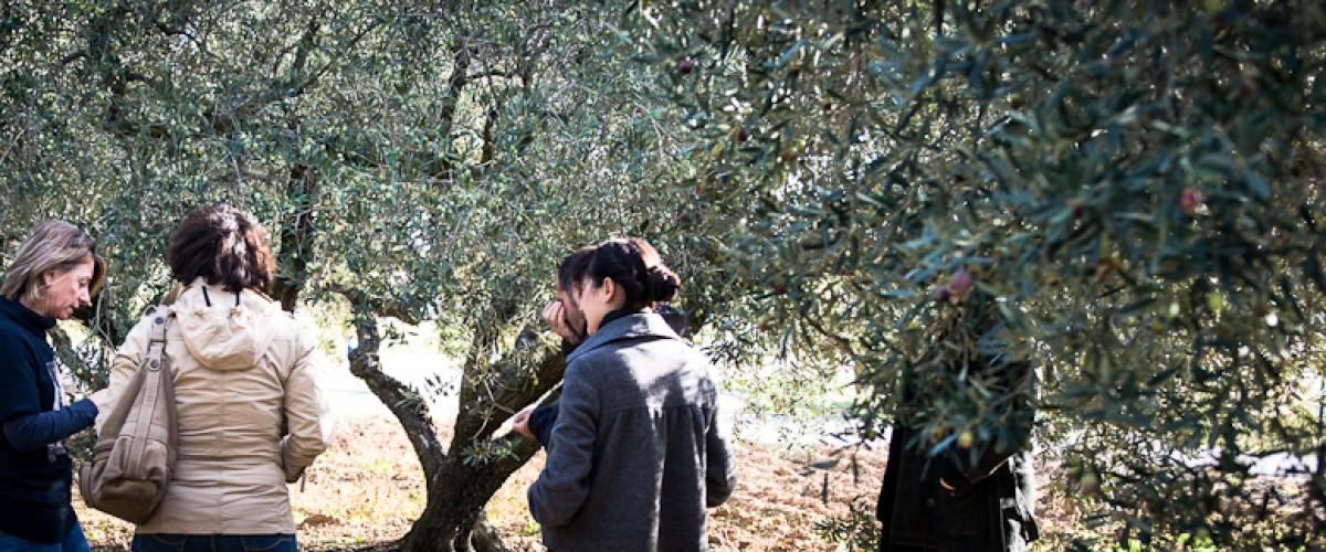 Les secret de la fabrication de l'huile d'olive en Provence