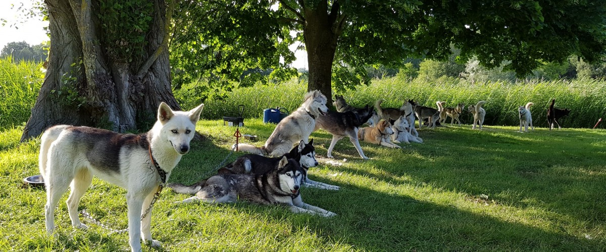 Cani rando récréative en forêt en compagnie d'un chien de traîneau