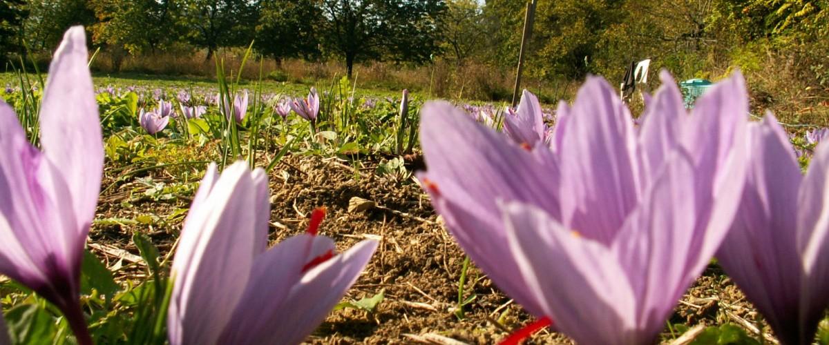 A la découverte du safran en Lorraine : du jardin à l'assiette