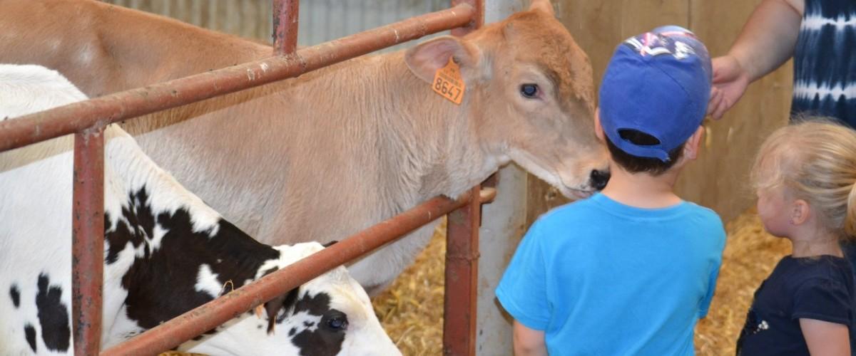 Traite des Vaches dans une ferme de l'Avesnois