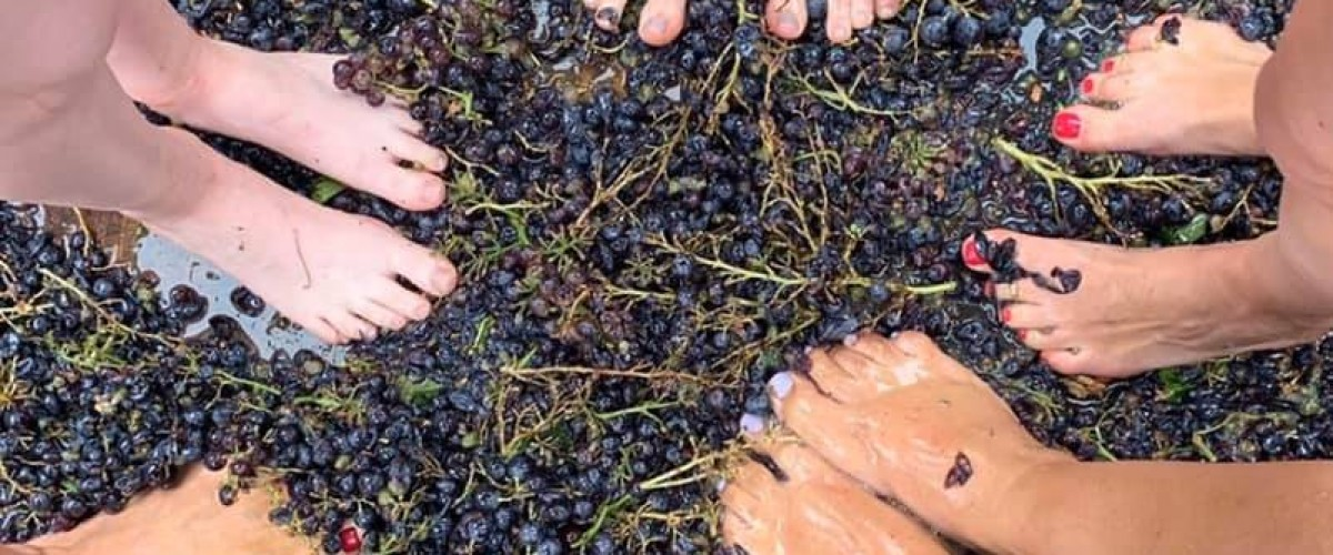 Grappe harvest experience in a traditional wine farm