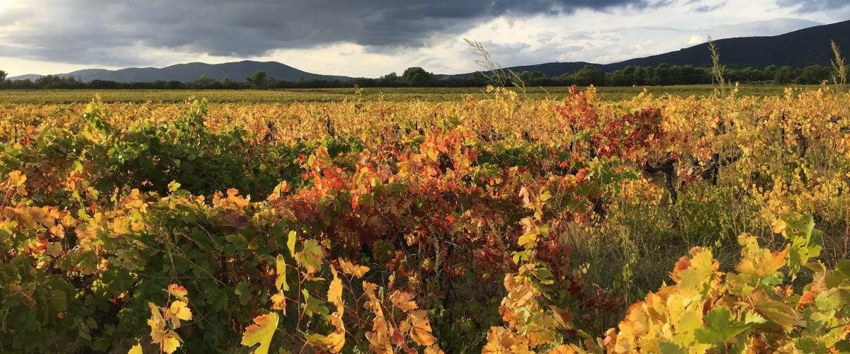 Comprendre la culture de la vigne : initiation à l'ampélographie dans le Vaucluse