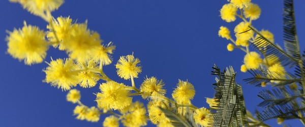 Randonnée au coeur du Mimosa à Mandelieu